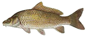 Common_carp.png